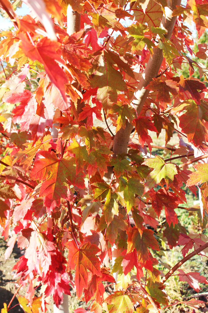 Autumn Blaze Maple-3